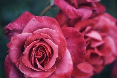 Kwiat róża